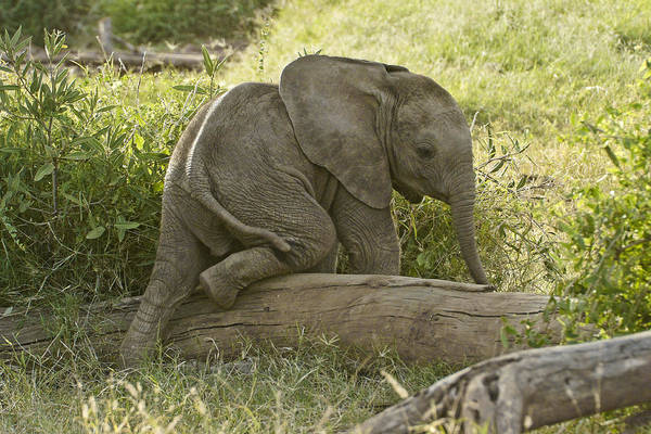 Africa Art Print featuring the photograph Little Elephant Big Log by Michele Burgess