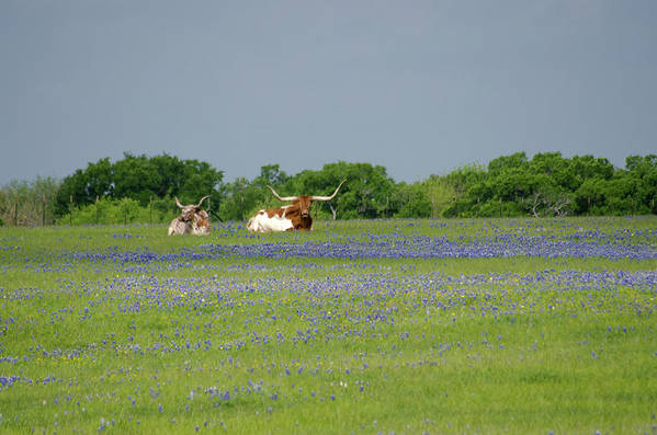 Horned Art Print featuring the photograph Longhorns And Bluebonnets by Linda Trine