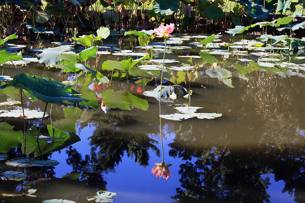 Garden Pond Art Print featuring the photograph Lotus Reflection by John Lautermilch