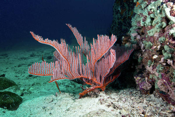 Underwater Art Print featuring the photograph Lyre Gorgonian, Harp Coral by Gerard Soury