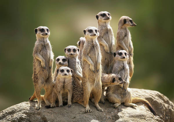 Scenics Art Print featuring the photograph Meerkat Family On Lookout by Kristianbell