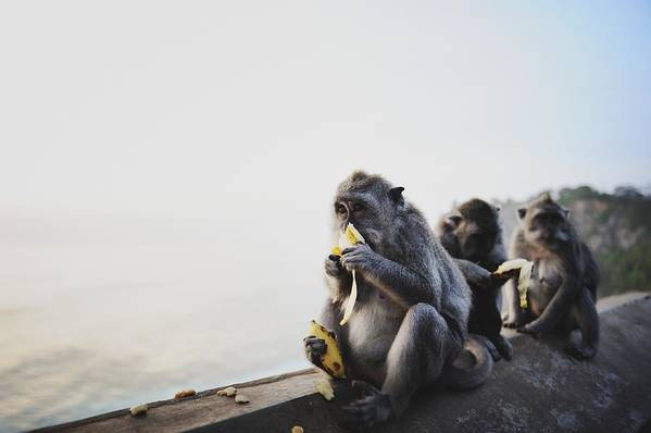 In A Row Art Print featuring the photograph Monkeys Eating Bananas by Carlina Teteris
