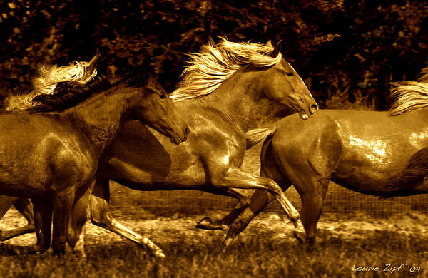 A Herd Of Paso Finos Run In A Pasture On A Ranch Near Santa Fe Art Print featuring the photograph Morning Run by Lourie Zipf