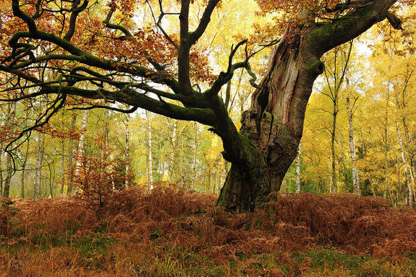 Aging Process Art Print featuring the photograph Moss Covered Ancient Hollow Oak Tree In by Avtg