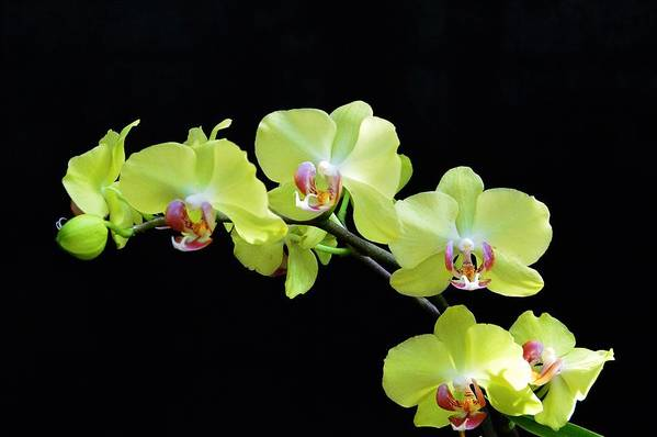 Orchid Art Print featuring the photograph Orchid Love by David Earl Johnson
