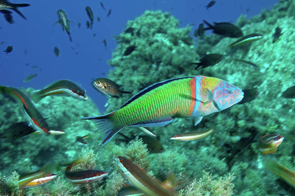 Underwater Art Print featuring the photograph Ornate Wrasse by Gerard Soury