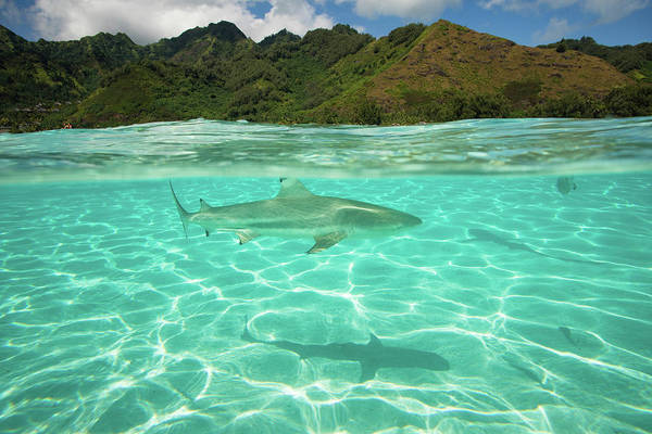Photography Art Print featuring the photograph Over Under, Half Water Half Land, Shark by Panoramic Images