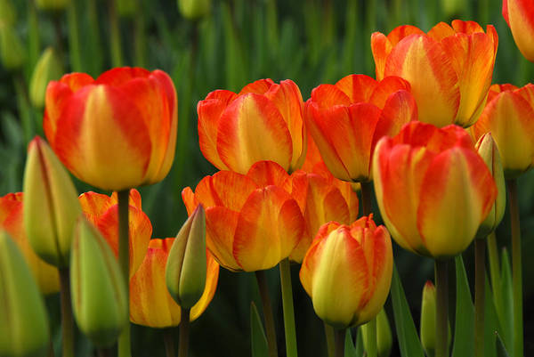 Tulip Art Print featuring the photograph Pacific Northwest Tulips 1 by Keith Gondron