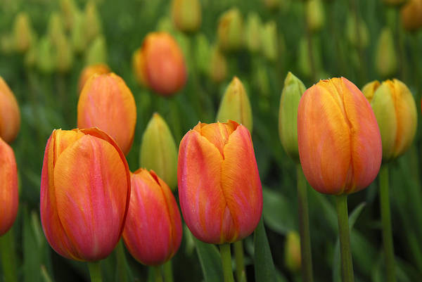 Tulips Art Print featuring the photograph Pacific Northwest Tulips 3 by Keith Gondron