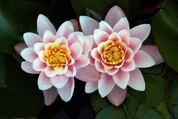 Cambridgeshire Art Print featuring the photograph Pair Of Water Lilys by Allan Baxter
