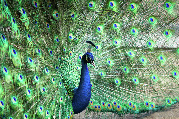 Male Animal Art Print featuring the photograph Peacock by Pengpeng