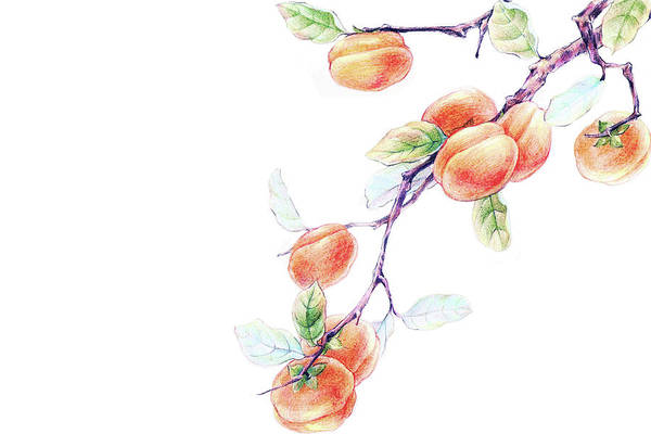 White Background Art Print featuring the digital art Persimmon Tree by Bji / Blue Jean Images