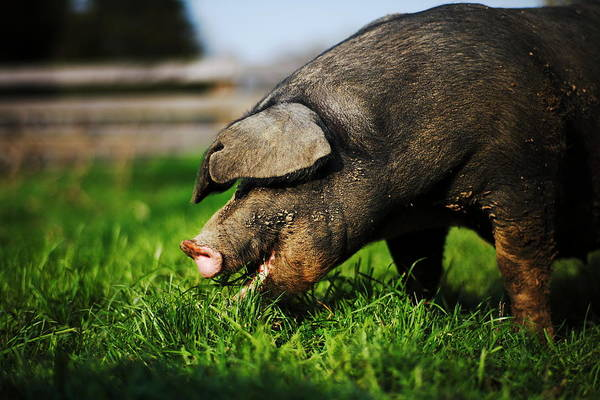 Pig Art Print featuring the photograph Pig Eating by Jimss