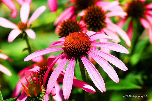 Pink Art Print featuring the photograph Pink Beauty by Marty Gayler
