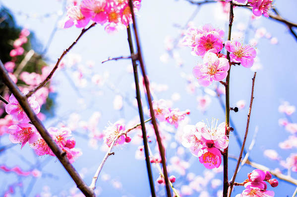 Plum Art Print featuring the photograph Plum Blossoms In Bloom by Marser