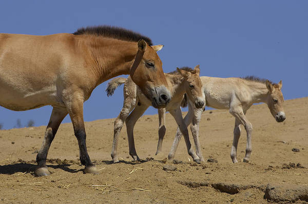 Feb0514 Art Print featuring the photograph Przewalskis Horse With Two Foals by San Diego Zoo