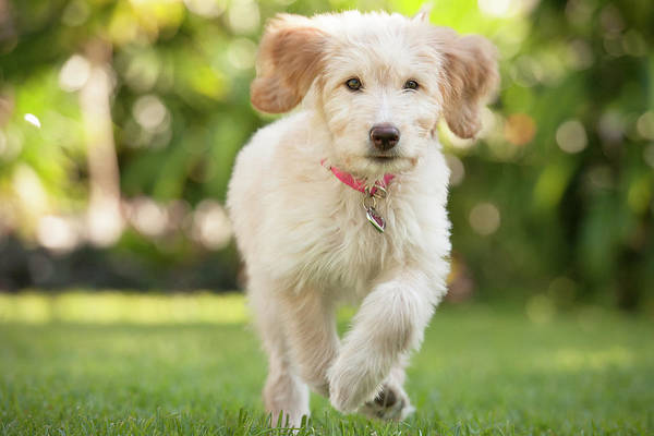 Pets Art Print featuring the photograph Puppy Running Through The Grass by Chris Stein