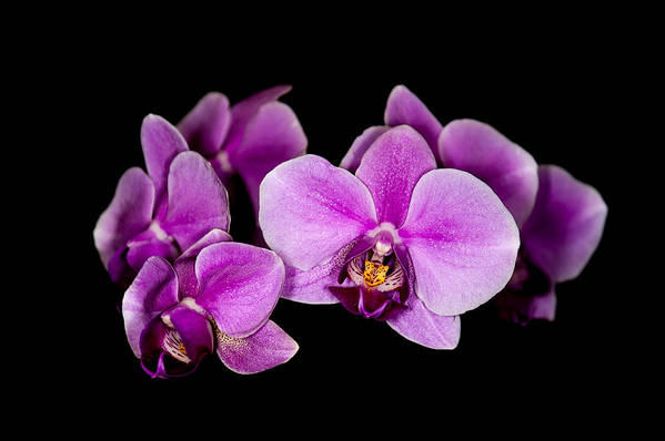 Orchids Art Print featuring the photograph Purple Orchids by Len Romanick