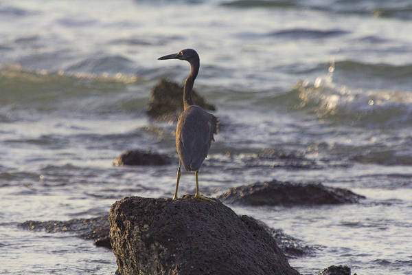 Reef Egret Art Print featuring the photograph Reef Egret by Douglas Barnard