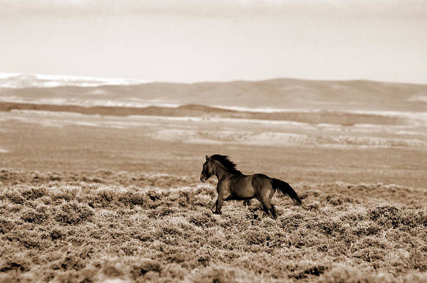 A Blm Mustang Runs In The Sand Wash Basin Near Baggs Art Print featuring the photograph Sand Wash Mustang by Lourie Zipf