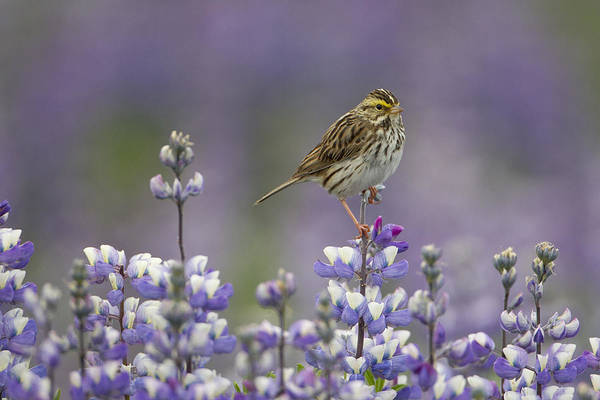 Feb0514 Art Print featuring the photograph Savannah Sparrow And Nootka Lupine by Ingo Arndt