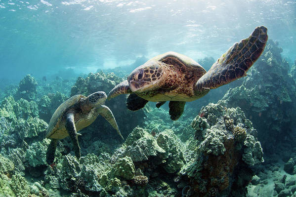 Underwater Art Print featuring the photograph Sea Turtles by M Swiet Productions