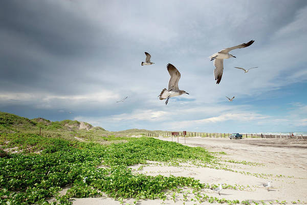 Scenics Art Print featuring the photograph Seagulls In Flight At North Padre by Olga Melhiser Photography