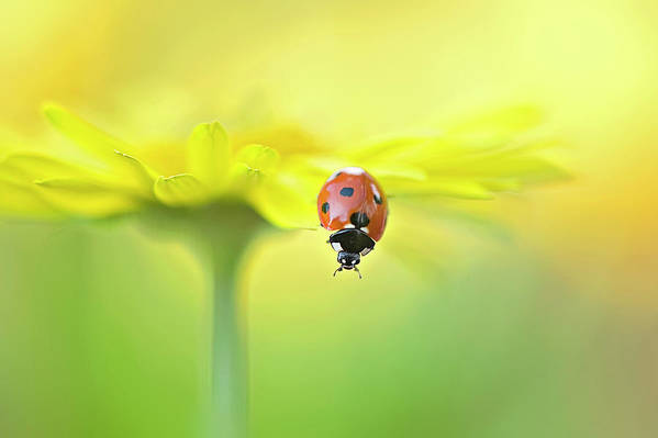 Buckinghamshire Art Print featuring the photograph Seven Spot Ladybird On Yellow Flower by Jacky Parker Photography