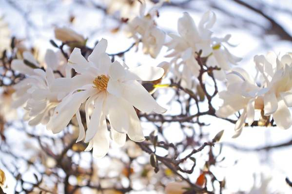 Magnolia Stellata Art Print featuring the photograph Spring Flowers by Sharon Popek