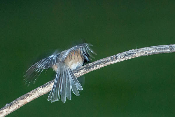 Bird Art Print featuring the photograph Tail Feathers by Paul Johnson