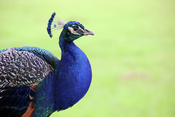 Indian Peafowl Art Print featuring the photograph The Profile Shot by Daniela Duncan