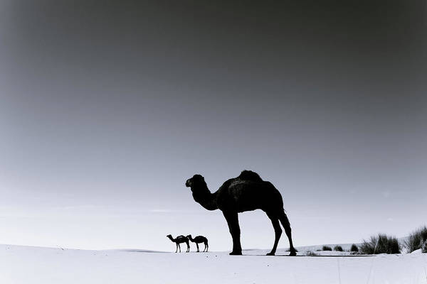 Scenics Art Print featuring the photograph Three Camels In The Sahara Desert by Zodebala