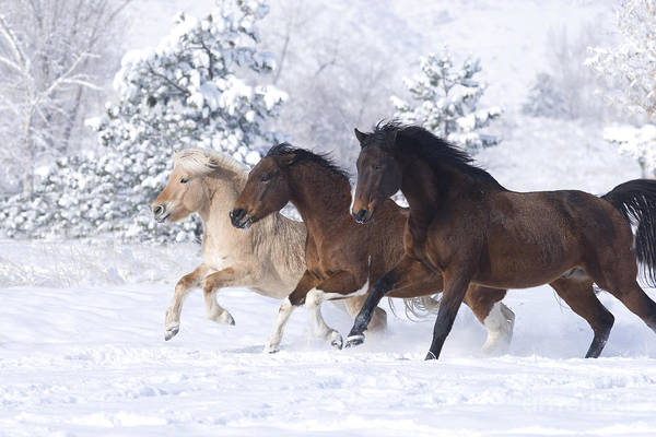 Horse Art Print featuring the photograph Three Snow Horses by Carol Walker