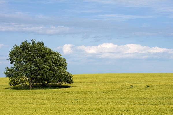 Grass Family Art Print featuring the photograph Trees In Wheat Field by Simplycreativephotography