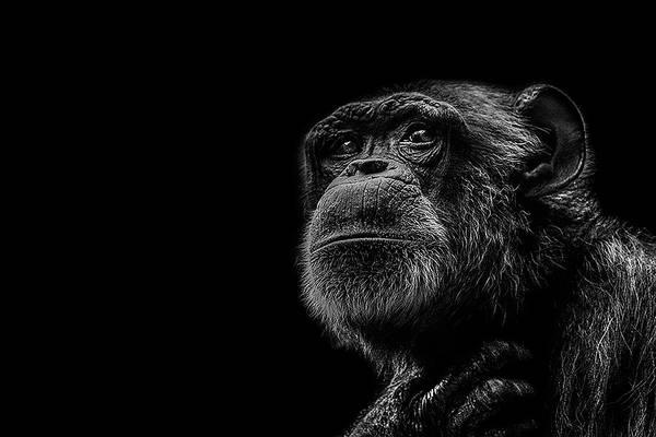 Chimpanzee Art Print featuring the photograph Trepidation by Paul Neville