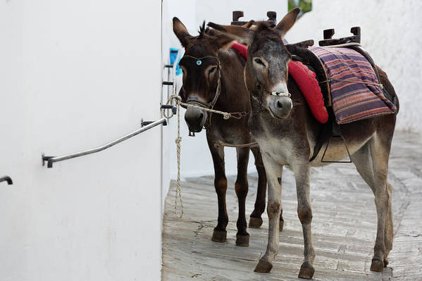 Working Animal Art Print featuring the photograph Two Donkeys Tethered In The Street In by Martin Child