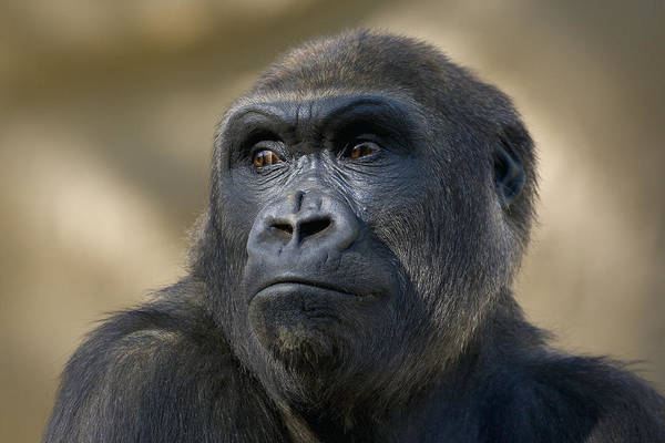 Feb0514 Art Print featuring the photograph Western Lowland Gorilla Portrait by San Diego Zoo