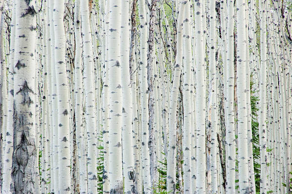 Scenics Art Print featuring the photograph White birch tree forest by OGphoto