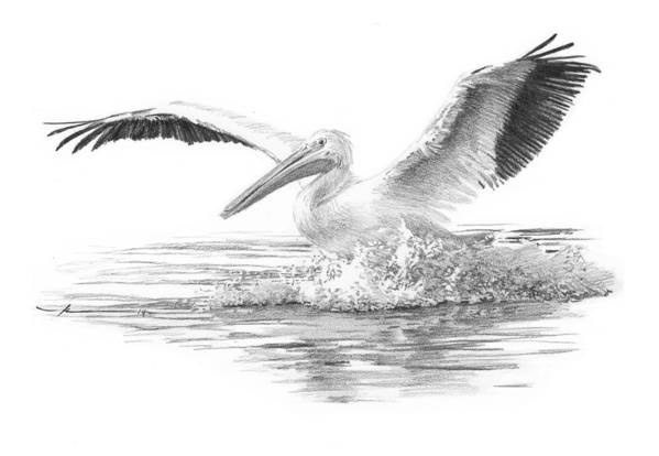 <a Href=http://miketheuer.com Target =_blank>www.miketheuer.com</a> Art Print featuring the drawing White Pelican Pencil Portrait by Mike Theuer