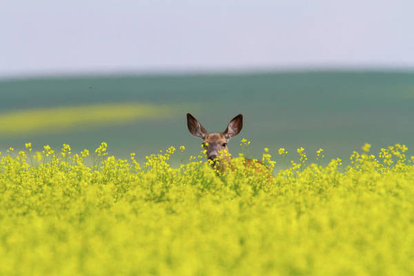 Alertness Art Print featuring the photograph White-tailed Doe by Ed Matuod