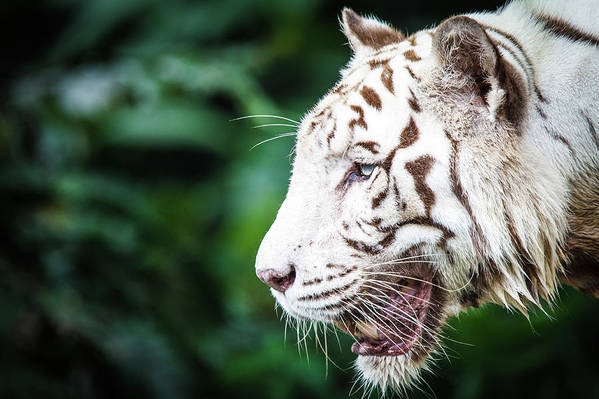 Snarling Art Print featuring the photograph White Tiger by Tony Kh Lim