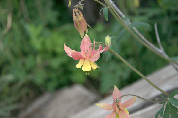 Yellow Art Print featuring the photograph Yellow Columbine 2 by Frank Madia