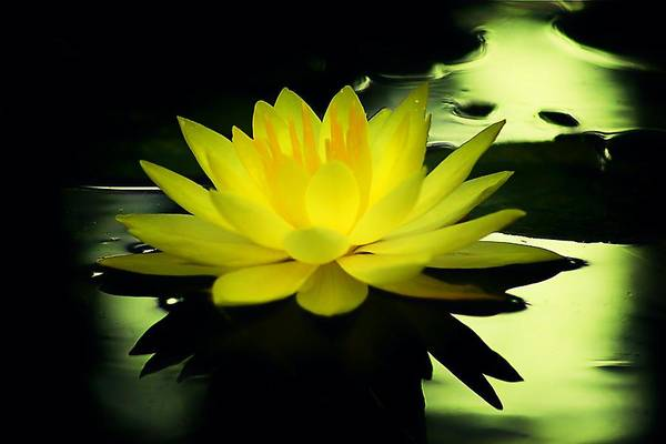 Yellow Waterlily Nc Art Print featuring the photograph Yellow Waterlily Nc by Beth Akerman