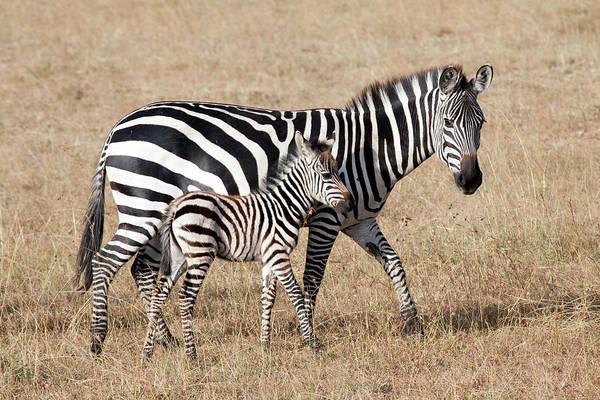 Kenya Art Print featuring the photograph Zebra With Young Foal, Masai Mara by Angelika