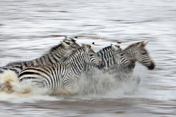 Plains Zebra Art Print featuring the photograph Zebras Crossing The Mara River by Aditya Singh