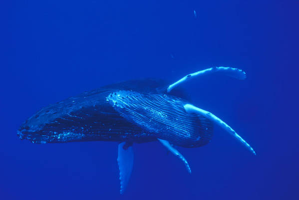 00114527 Art Print featuring the photograph Humpback Whale Mother And Calf Off Maui by Flip Nicklin