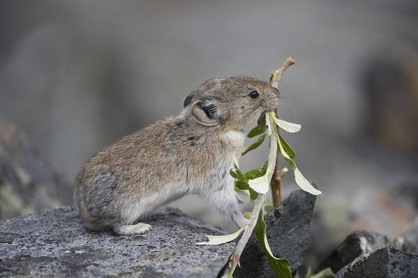 Mp Art Print featuring the photograph American Pika by Michael Quinton
