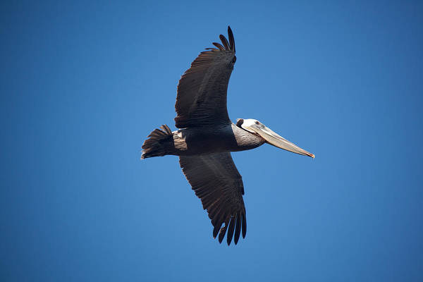 Pelican Art Print featuring the photograph flying Pelican by Ralf Kaiser