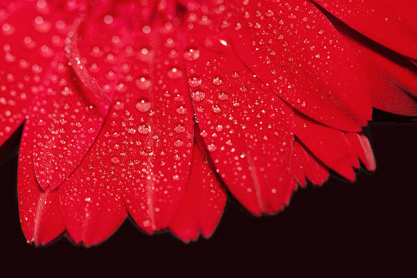 Water Art Print featuring the photograph Misty Petals by Katherine Morgan