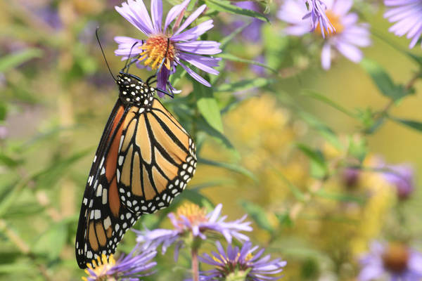 Butterflies Art Print featuring the photograph Monarch profile one by Alan Rutherford